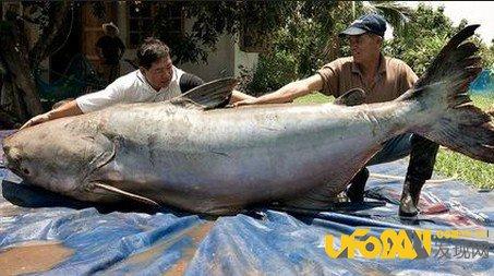 盘点那些世界上最大的鱼:你不得不知道的最大的鱼