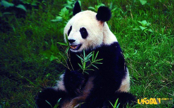赠与澳门大熊猫肾衰死亡情况罕见