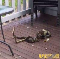 争着和雌蛇交配 两雄蛇互斗「大打出手」