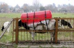 科学家研制牛屁包:既能减排还可发电