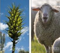 """英国""""食羊树""""开花可捕杀绵羊等家畜"""