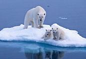 北极熊的日常